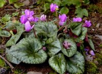cyclamen_purpurascens.jpg